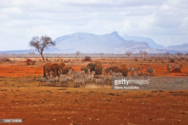 animals at waterhole - kenya bildbanksfoton och bilder