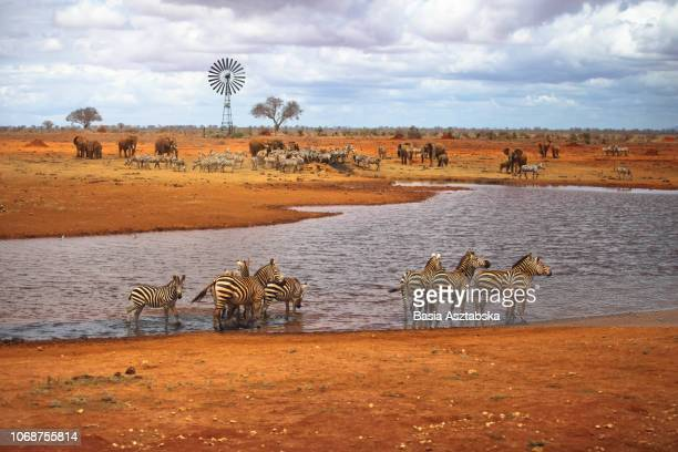 animals at waterhole - waterhole stock pictures, royalty-free photos & images