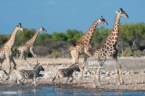 animals at watering hole in etosha - tall high stock pictures, royalty-free photos & images