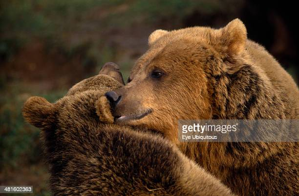 Animals, Bear, Captive, Two Brown bears , head and shoulders view nuzzling each other.