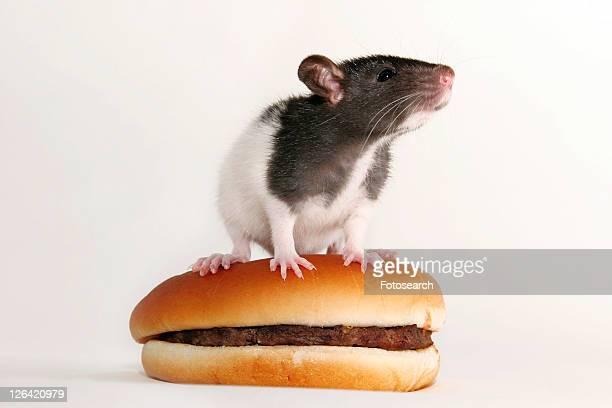 animals, burger, bun, bread roll, alfred