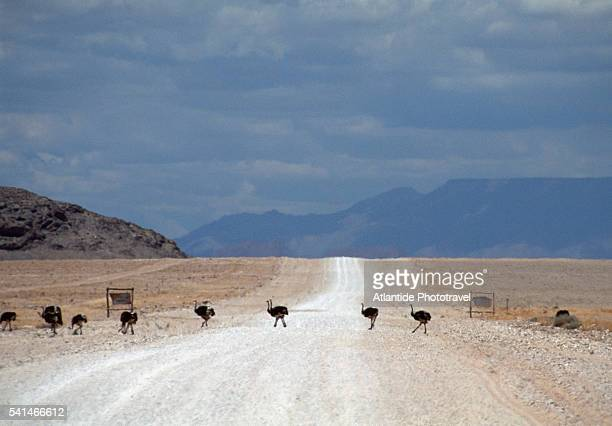animals crossing the road between walwis bay and glaub pass - walvis bay stock photos and pictures