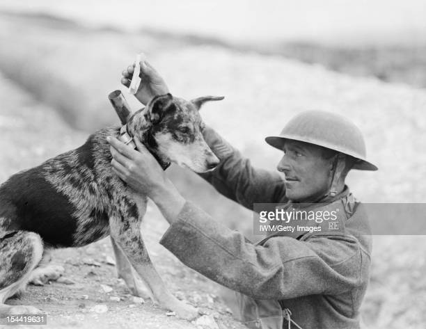 Animals During The First World War, A Sergeant of a Royal Engineers signals section puts a message into the cylinder attached to the collar of a...