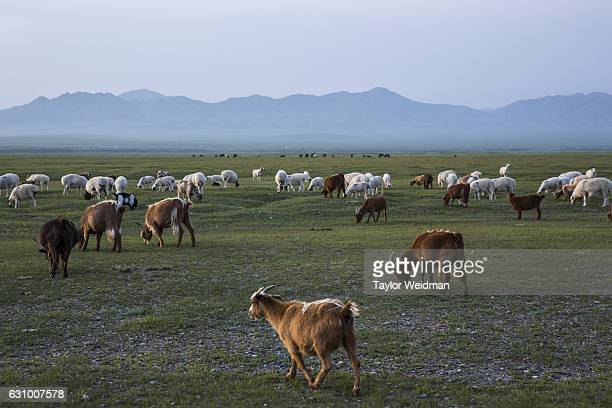 Animals graze in Altanbulag Mongolia on July 28 2016 This herding family has recently begun accepting guests via Airbnb