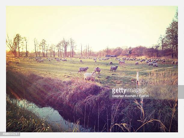 animals grazing on landscape against clear sky - celle stock photos and pictures