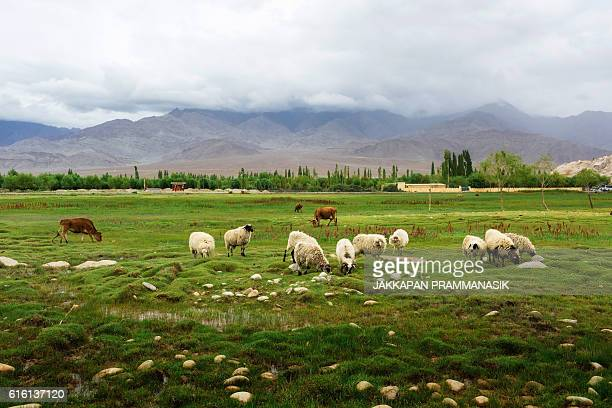 animals grazing on pasture near shey palace - kashmir valley stock photos and pictures