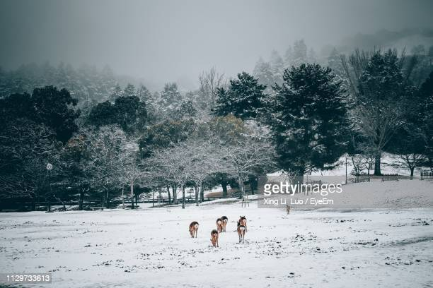 animals grazing on snow covered field against trees - 奈良市 ストックフォトと画像