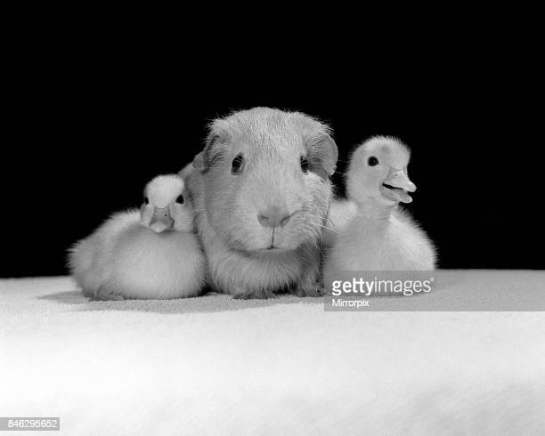 Animals Guinea Pig and Ducklings April 1985 These two ducklings are cuddles up to the guinea pig