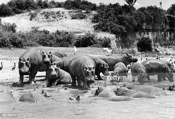 1960 Hippopotamuses at the edge of the Victoria Nile in Uganda with birds also shown
