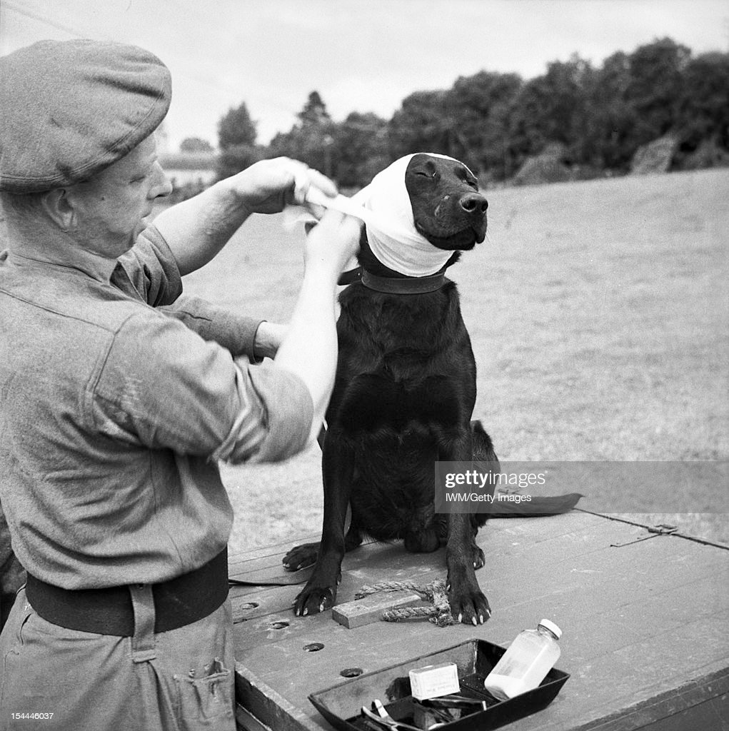Animals In War, A sergeant of the Royal Army Veterinary Corps bandages the wounded ear of 'Jasper', a mine-detecting dog, Bayeux, France, 5 July 1944.