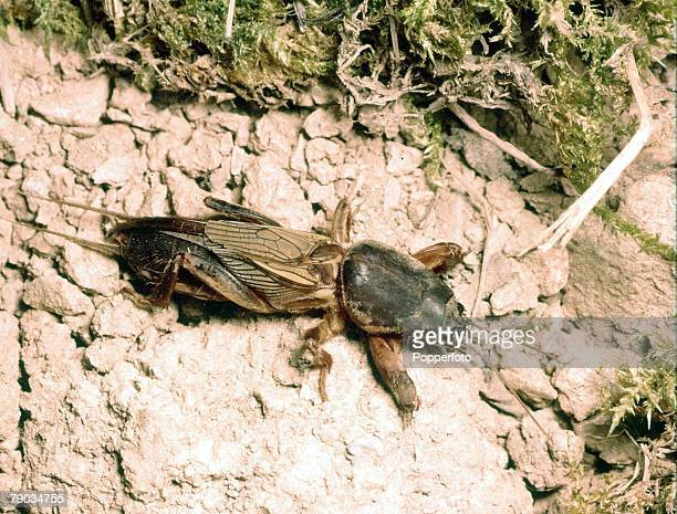 Animals Insects A Mole Cricket
