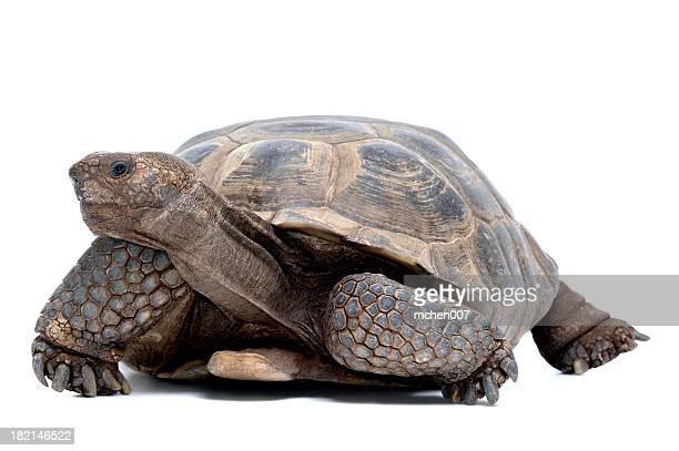Animals : Isolated Desert Tortoises
