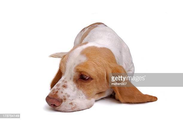 Animals : Isolated Dog Basset Hound