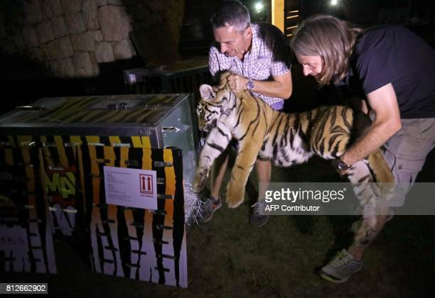 CORRECTION Animals Lebanon executive director Jason Mier and a volunteer carry one of the three Siberian tigers to be resettled in France as they...