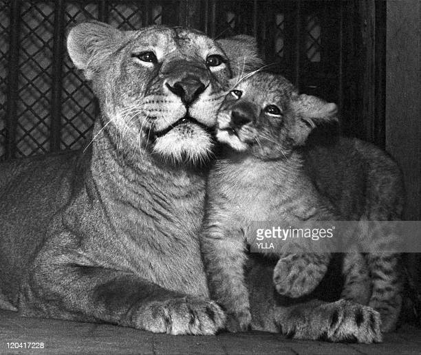 Animals Lioness and lion cub