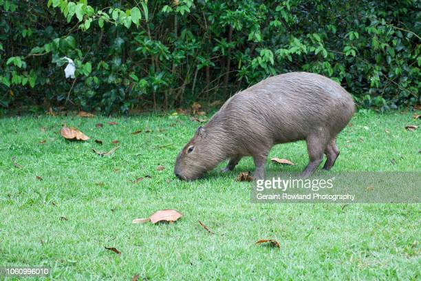 animals of south america - capybara stock pictures, royalty-free photos & images
