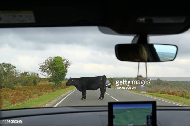animals on the road - 無知 ストックフォトと画像