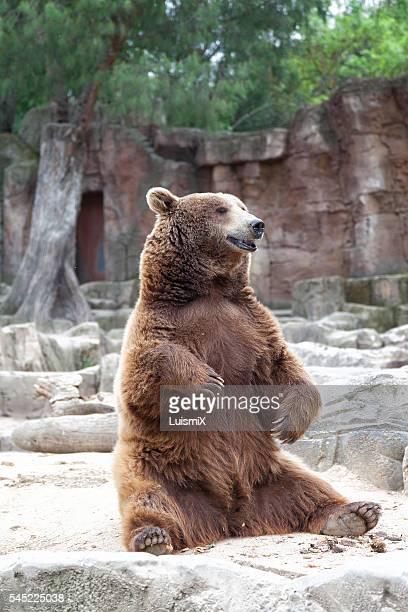 animals - ours brun photos et images de collection
