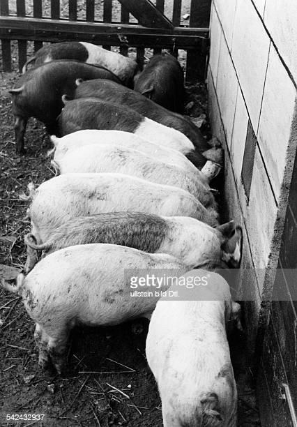 Animals: pigs on a chweine am feeding trough- 1938- Photographer: Hanns Hubmann