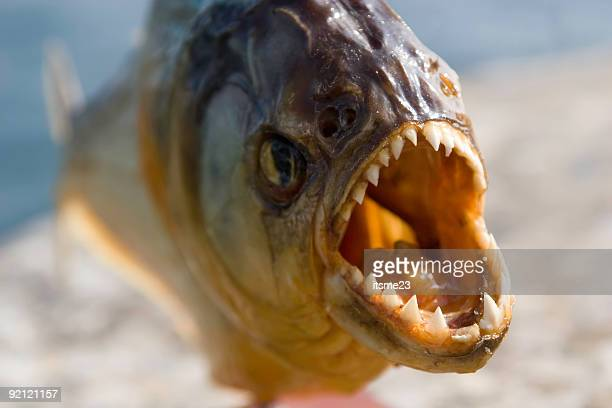 attack piranha victims caught fish