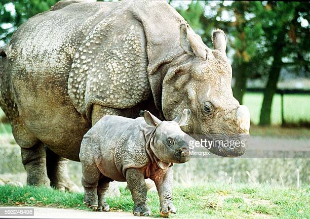 Animals Rhino October 1989 Bardia the rhino with his mother Roopa born 3 weeks ago at Whipsnade Zoo