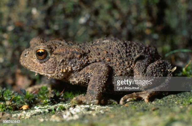 Animals Single Toad Bufo Bufo Toad