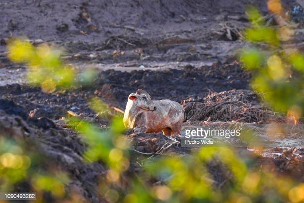 Animals trapped in mud in Córrego do Feijão near the town of Brumadinho in the state of Minas Gerias in southeastern Brazil on January 27 a day after...