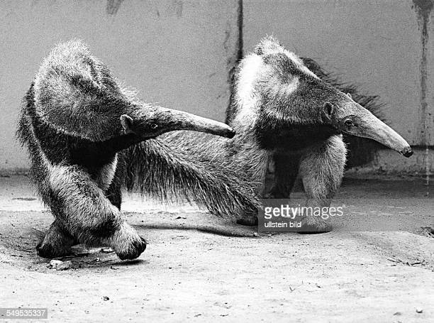two anteaters in zoo about 1965