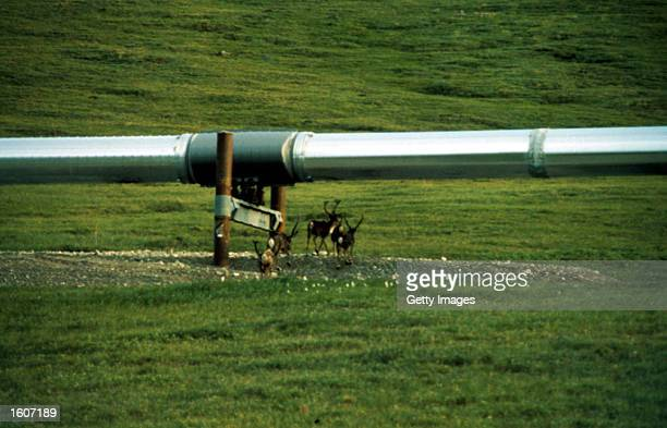 Animals walk under a pipeline in the Arctic National Wildlife Refuge in Alaska in this undated photo The Bush administration''s controversial plan to...