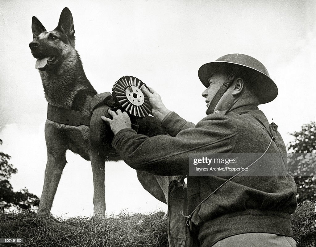 Animals, War and Conflict, World War II, pic: July 1942, 'Mark' the dog ammunition carrier at work with a section of British troops in the Eastern Command area, The dog was given to the B,E,F, by the 1st French Army and saw active service in France from November 1939 to June 1940
