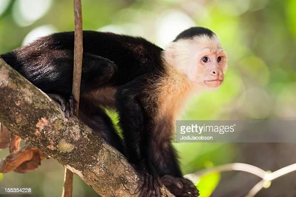 animals: white faced capuchin monkey (cebus capucinus) - capuchin monkey stock pictures, royalty-free photos & images