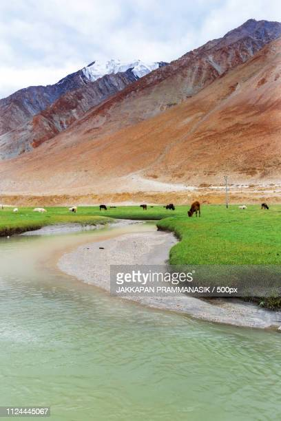 Animals With Natural Landscape In Leh Ladakh