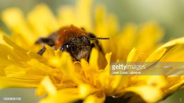 Animaux - Abeille - Animal - Bee