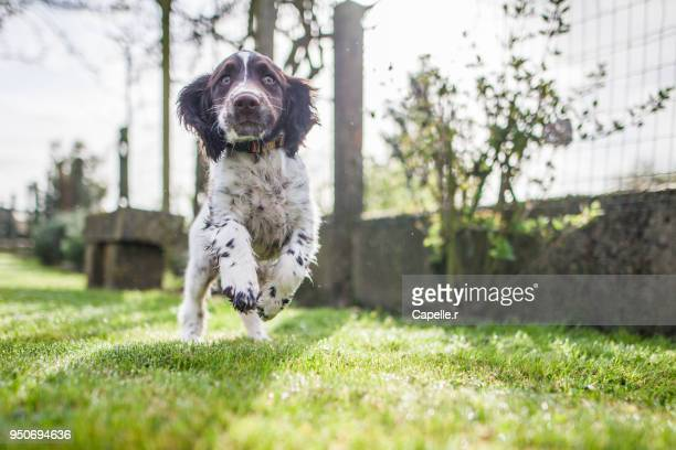Animaux - Chiot springer