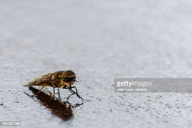 Animaux - Taon - Horsefly - Tabanidae