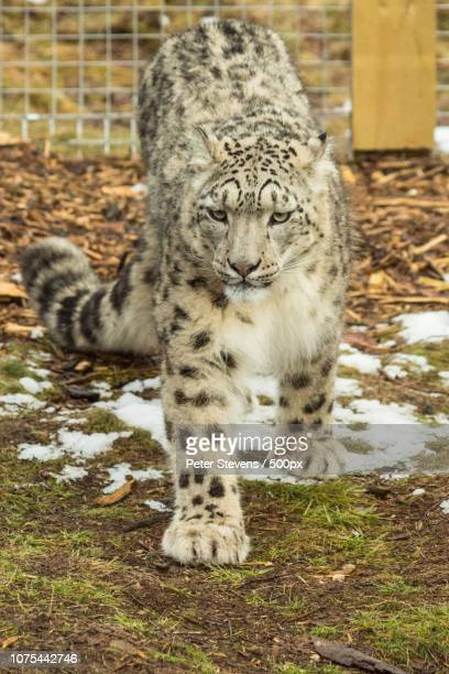 animesh the snow leopard - peter snow stock pictures, royalty-free photos & images