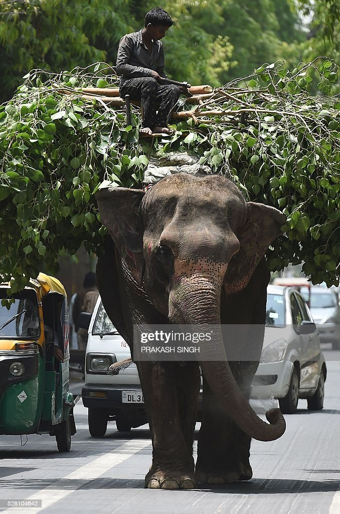 AnIndian Elephant sprinkles water while walking past traffic in New Delhi on May 4, 2016. Elephants and camels are often seen among traffic as they travel along roads to participate in religious ceremonies and marriages in the Indian capital. / AFP / Prakash SINGH