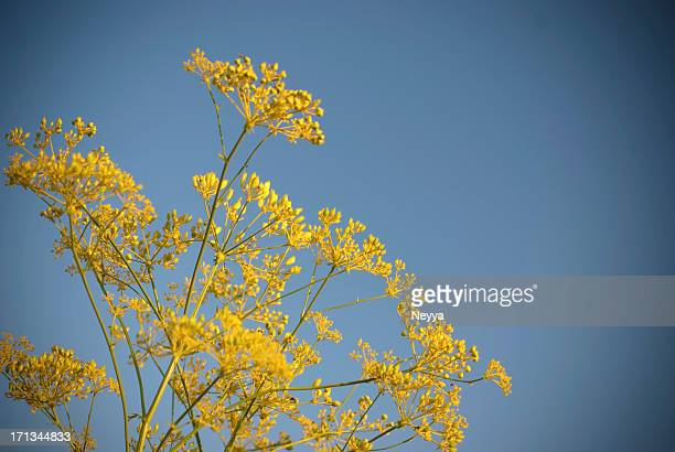Anice (Anethum Graveolens)
