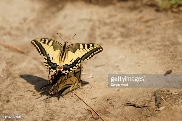 anise swallowtail butterflies mating - tierpaarung stock-fotos und bilder