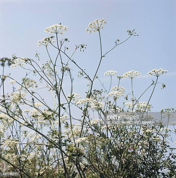 Aniseed in bloom Apiaceae