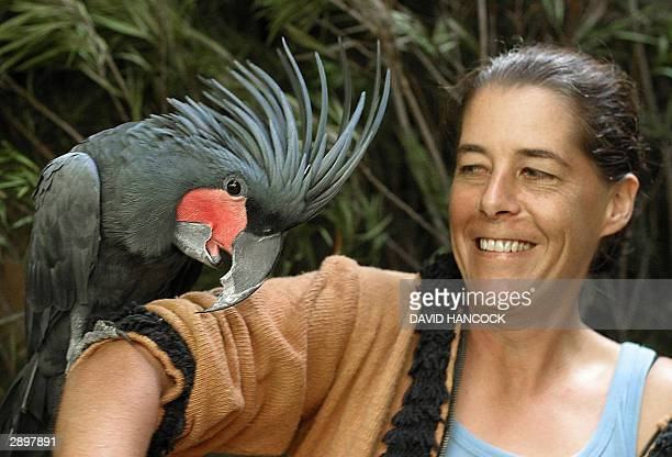 Anita Barz holds a rare Palm Cockatoo at the Adelaide Zoo 25 January 2004 'Ben' whose diet includes some of the toughest berries and nuts has a jaw...