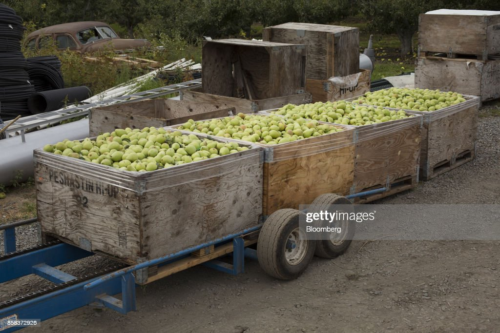 D'Anjou pears sit in crates after being harvested at Prey Orchards near Peshastin, Washington, U.S., on Wednesday, Sept. 20, 2017. Smoke from wildfires in the Cascade Mountains troubled pear pickers in the Wenatchee Valley and Northcentral Washington in mid September. However it benefits the fruit by cooling down temperatures and tends to delay maturity. Photographer: David Ryder/Bloomberg via Getty Images