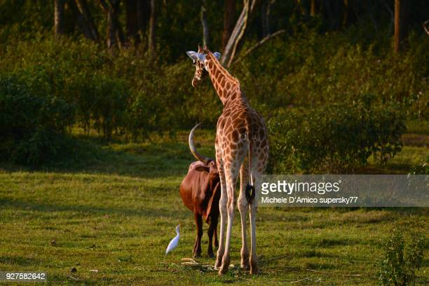 Ankole cattle and Giraffe love
