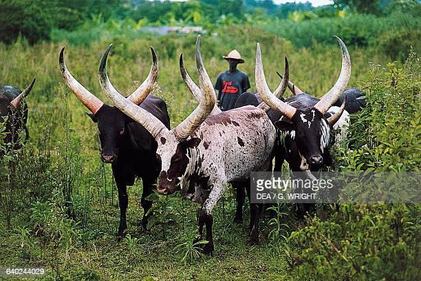 Ankole cattle grazing near Entebbe Uganda