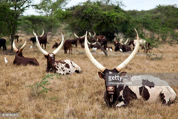 Ankole Cattle, Lake Mburo National Park, Uganda