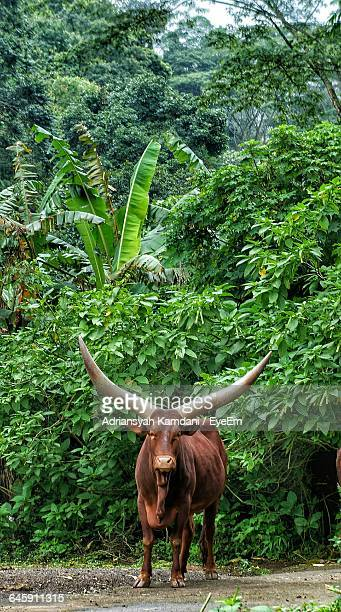 Ankole Cattle Standing Against Trees