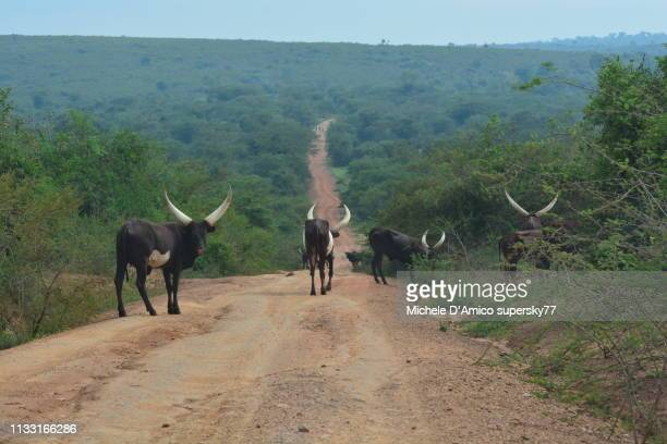 Ankole cattle with their huge horns in the Uganda countriside
