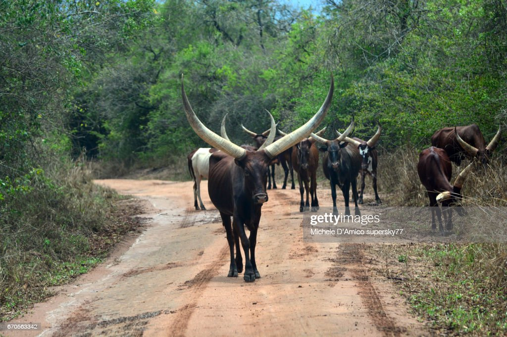 Ankole cattle with their huge horns in the Uganda countriside : Foto de stock