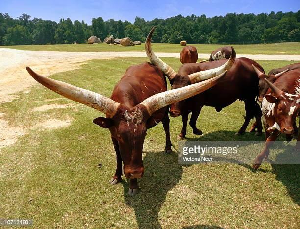 Ankole Longhorns