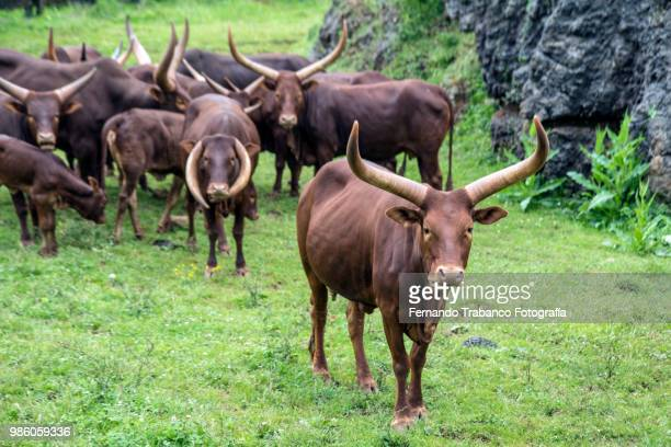 Ankole-Watusi breed of cattle